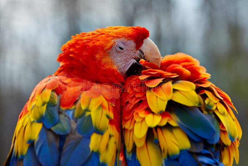 Scharlakansröda araförälskelsefåglar royaltyfri foto