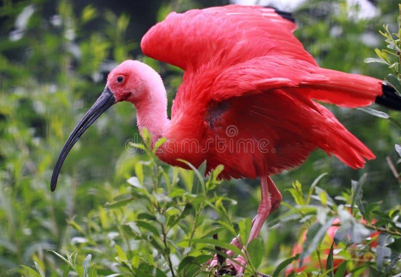 Scharlakansröda Ibis på den Caroni swampen (Trinidad) arkivfoto