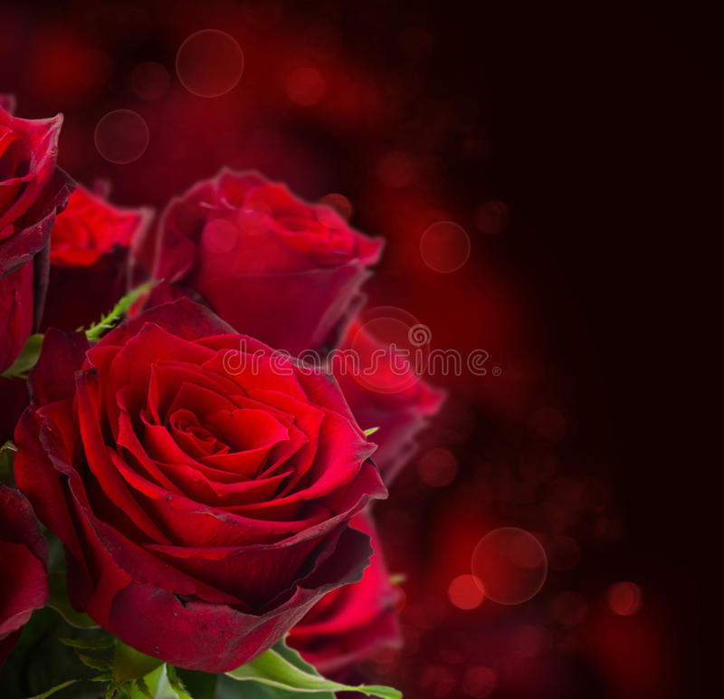 Scharlakansröda rosor på mörk bakgrund royaltyfri fotografi