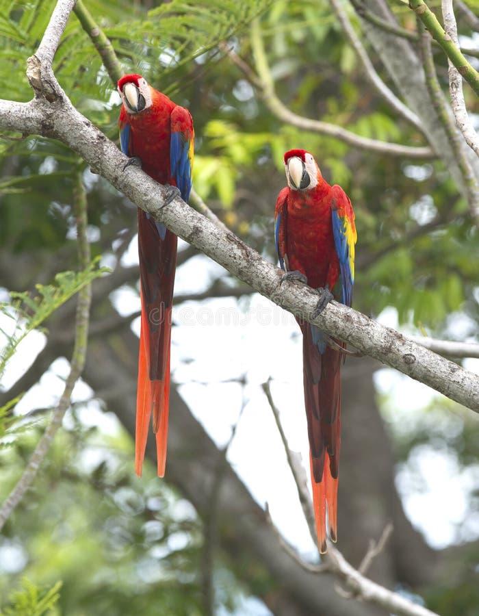 Scharlakansrött araparträd, carate, Costa Rica royaltyfri foto