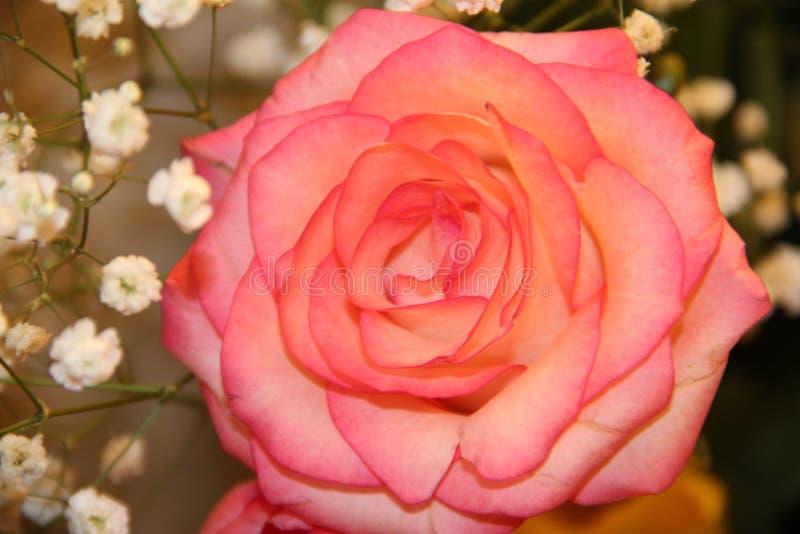 Scharlakansrött ros, drottning av blommor arkivbilder