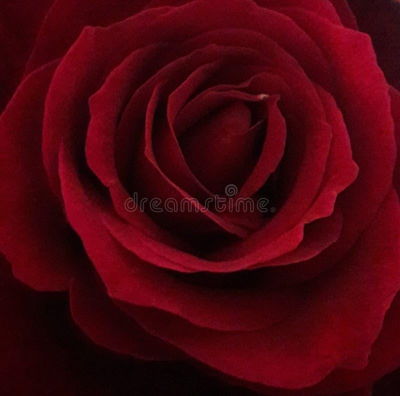 Scharlakansrött rosa knoppslut upp royaltyfria bilder