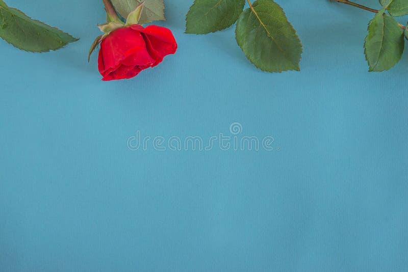 Scharlaken één nam bloem en groene bladeren op blauwgroene achtergrond toe royalty-vrije stock afbeelding