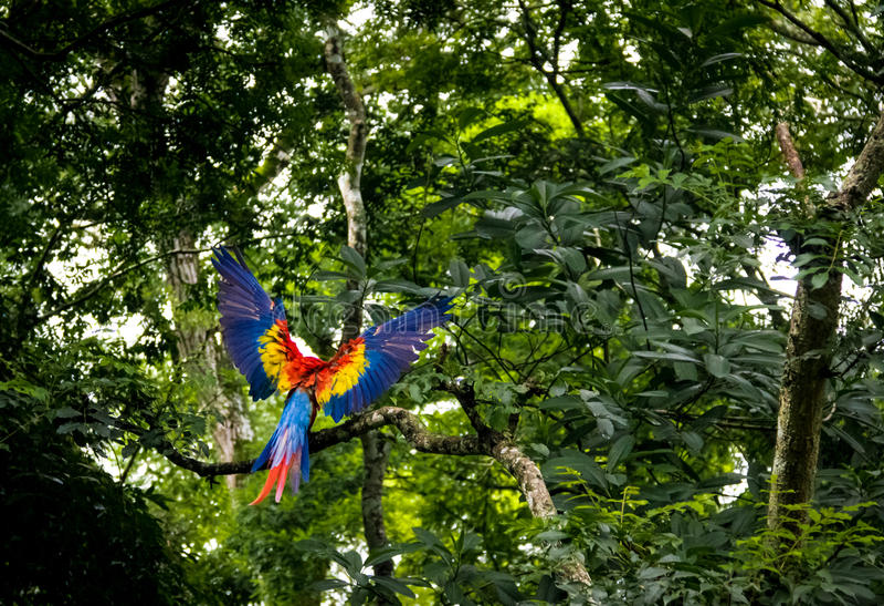 Scharlaken Ara die - Copan, Honduras vliegen stock foto's