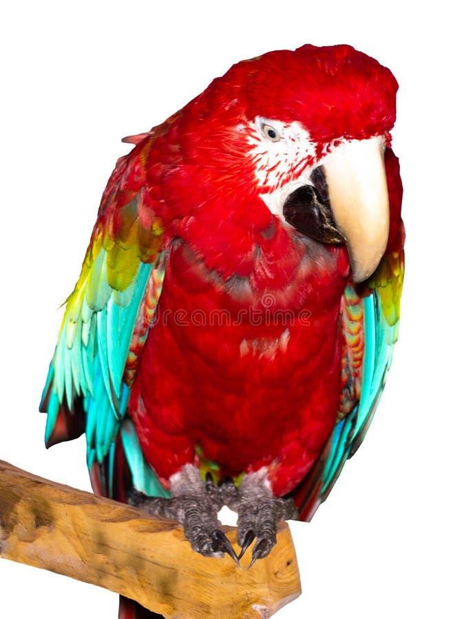 Scharlaken Ara, Kleurrijke vogel die die op tak neerstrijken op witte weg wordt geïsoleerd als achtergrond en het knippen stock fotografie