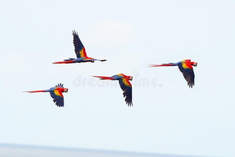 Scharlaken ara's die, mannetjeseendbaai, corcovado, Costa Rica vliegen