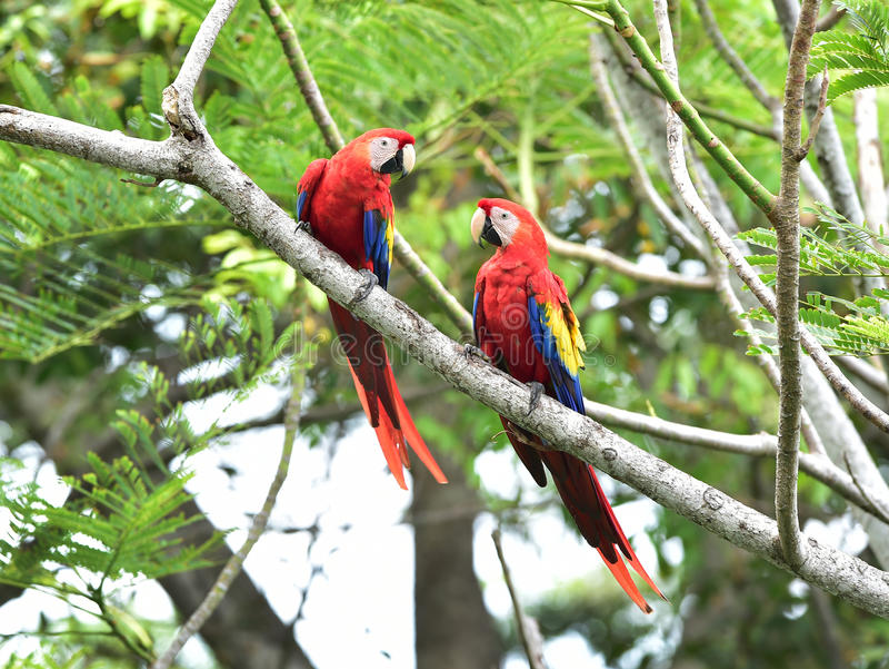 Scharlaken ara'sboom, corcovado, Costa Rica