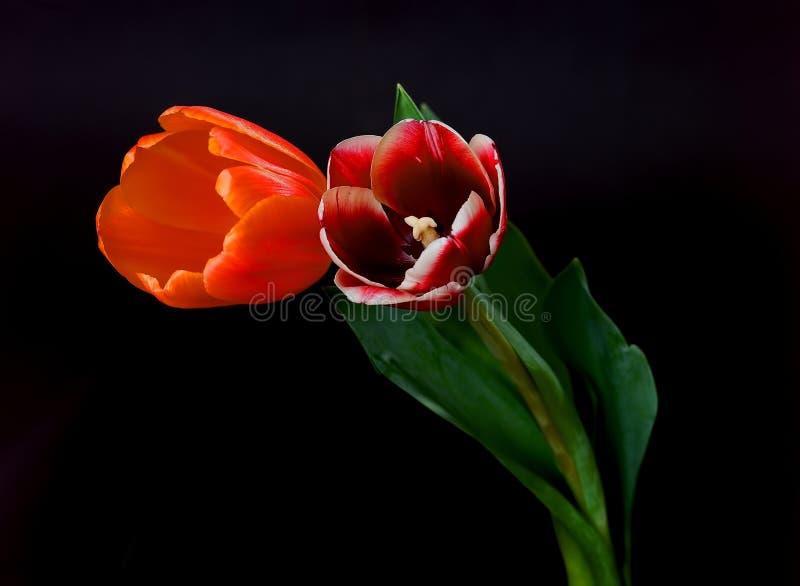 Scharlaken en Oranje Tulpen stock foto