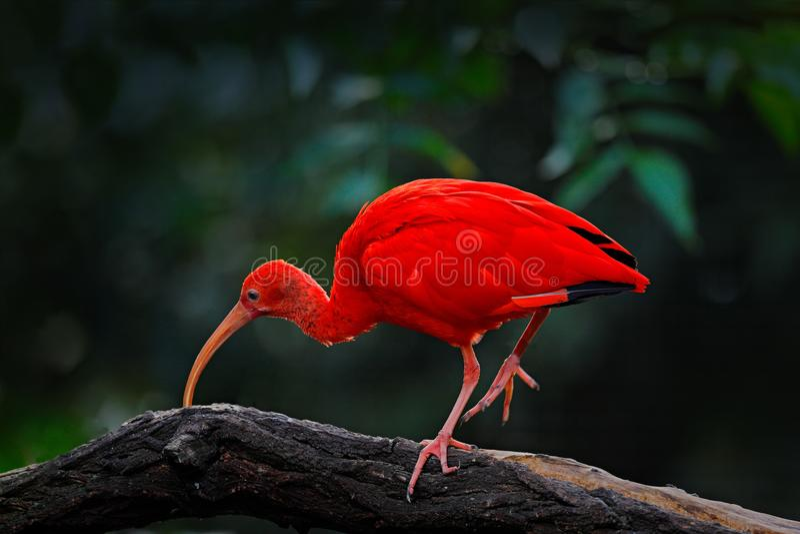 Scharlaken Ibis, Eudocimus ruber, exotische vogel in de aardhabitat, vogelzitting op boomtak met het licht van de avondzon, tijde stock fotografie
