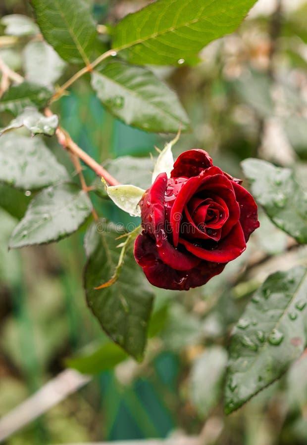 Scharlaken nam bloem in dalingen van water toe Autumn Rain royalty-vrije stock foto's