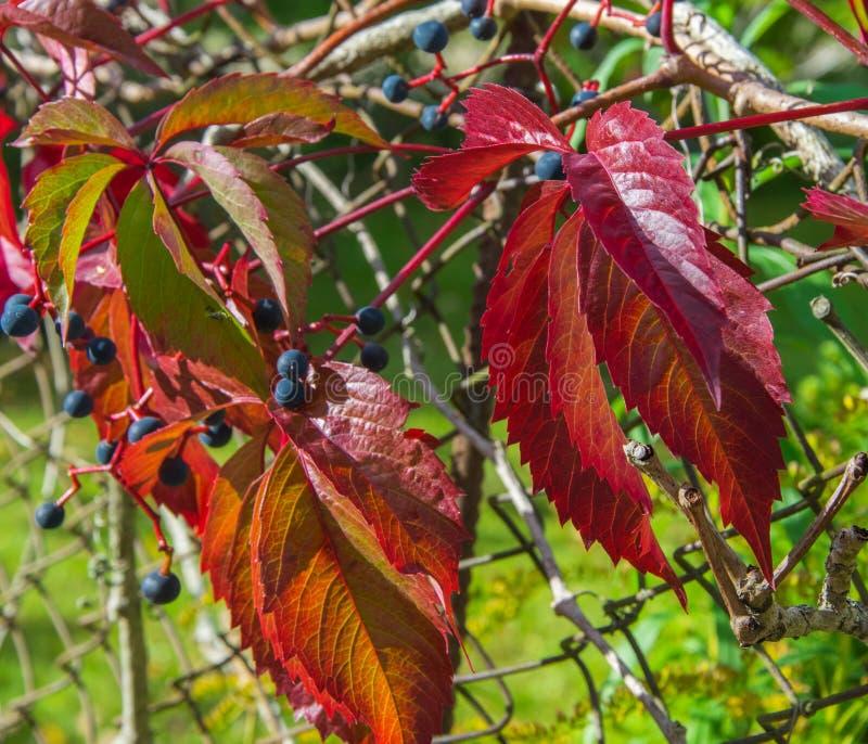 Scharlaken, robijnrode herfstachtergrond met wilde druivenbladeren De vroege herfst in een zonnige dag van september stock fotografie