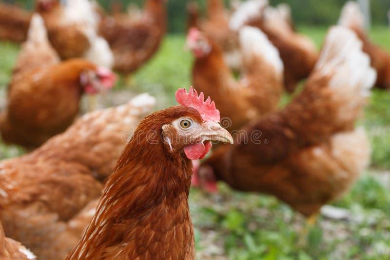 Scharrelkippen (kip) op een organisch landbouwbedrijf stock afbeelding
