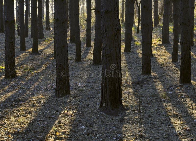 Schatten von Baumstämmen im Wald lizenzfreies stockfoto