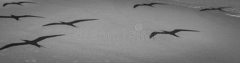 Schatten von einer Menge von den königlichen Seeschwalben, die über ein Florida fliegen, setzen auf den Strand lizenzfreies stockfoto