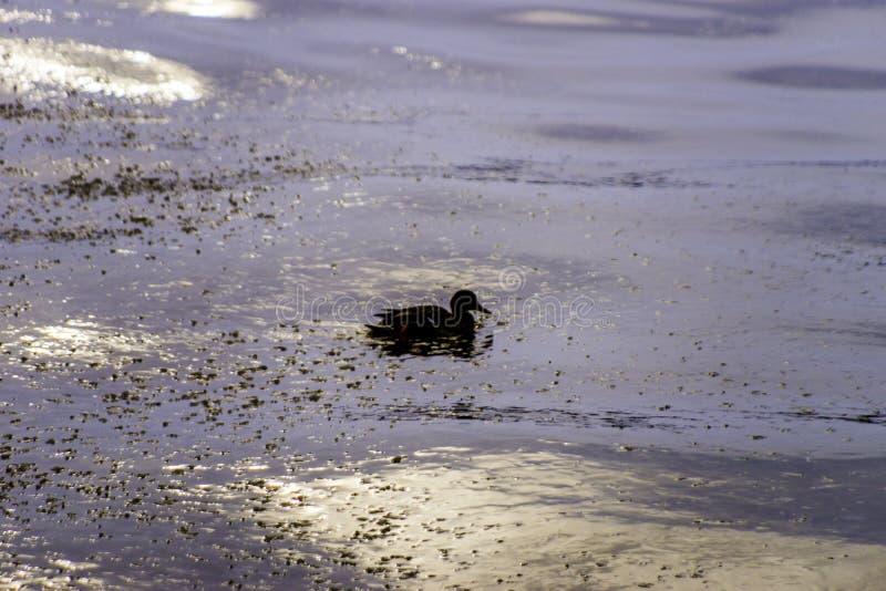 Schattenbild der einzigen Entenschwimmens im tiefen Wintersee wässert an s lizenzfreie stockfotografie