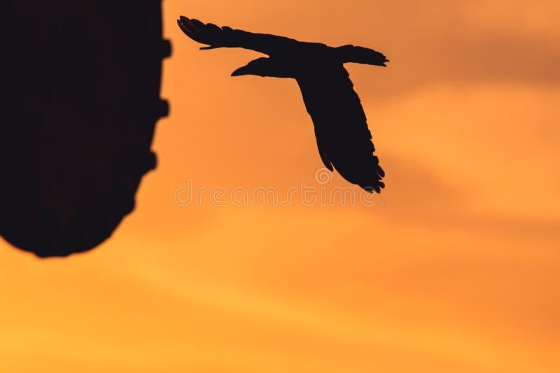 Schattenbild der Fliegen-Krähe lizenzfreie stockfotografie