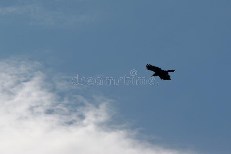 Schattenbild der Fliegenkrähe auf einem blauen Himmel mit flaumigen Wolken - Corvus lizenzfreie stockfotografie