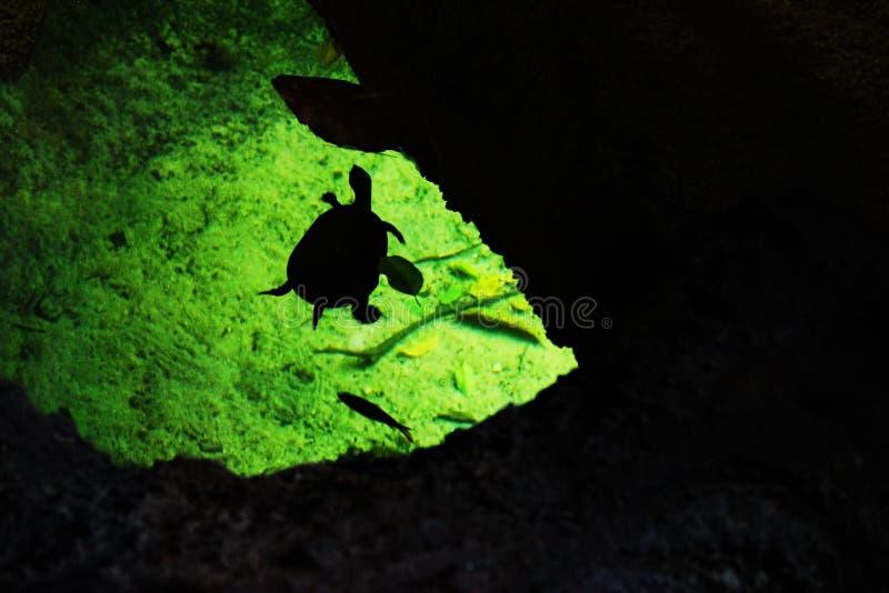 Schattenbild der Schildkröte und der Fische im Wasser stockfotos