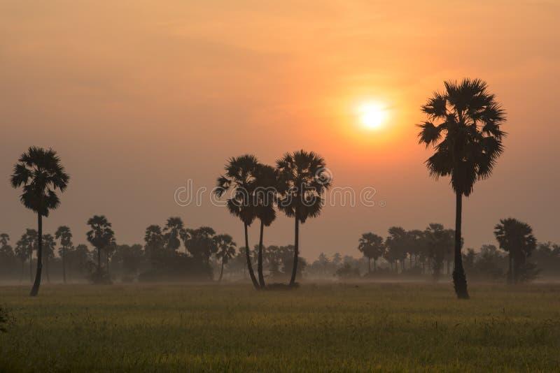 Schattenbild des Arengapalmebaums im Reis archiviert stockfotografie