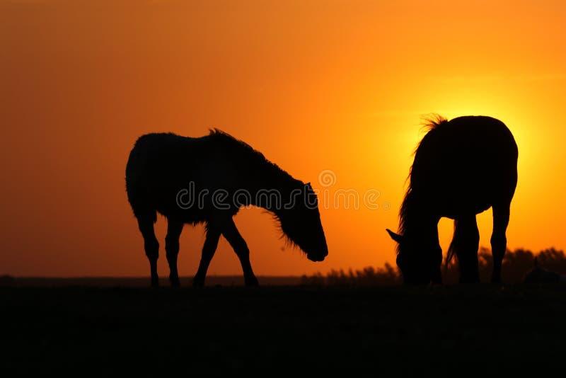Schattenbild des Esels und des Pferds auf Sonnenuntergang stockfotos