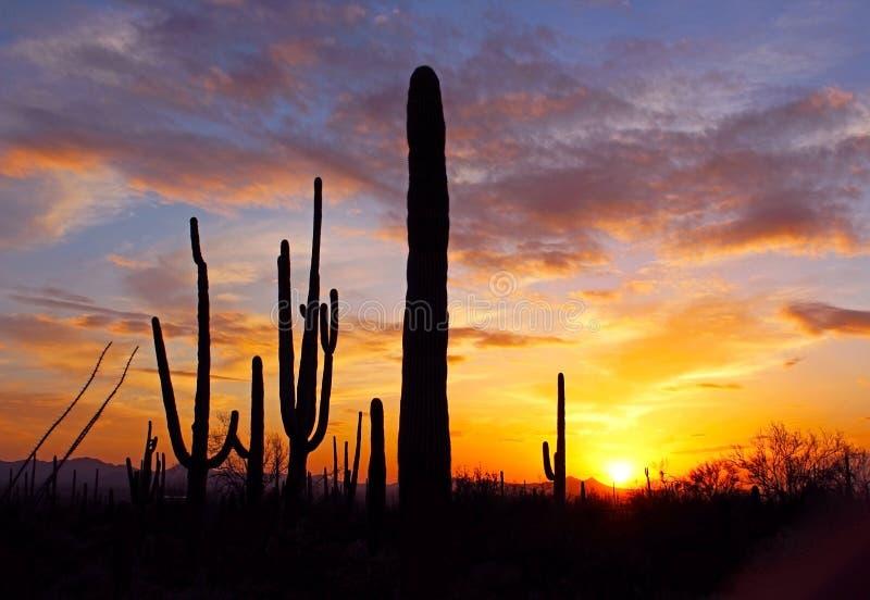 Schattenbild des riesigen Saguaro stockfotos