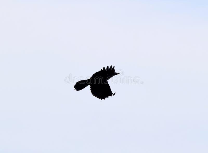 Schattenbild einer Fliegen Krähe stockbild