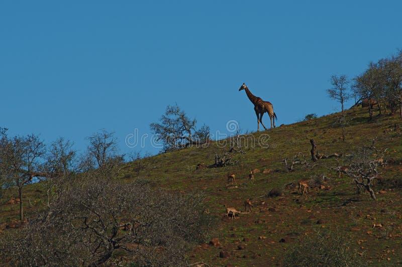 Schattenbild einer Giraffe, die einen Hügel, in Südafrika hinuntergeht lizenzfreie stockfotos