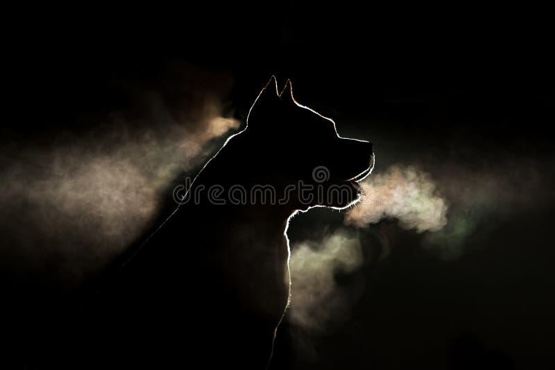 Schattenbild einer Zucht Hunderassen American Staffordshire Terriers in der Hintergrundbeleuchtung auf einem schwarzen Hintergrun stockbild