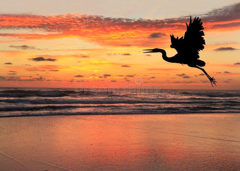 Schattenbild eines blauen Reihers am Sonnenaufgang auf Strand lizenzfreie stockfotografie