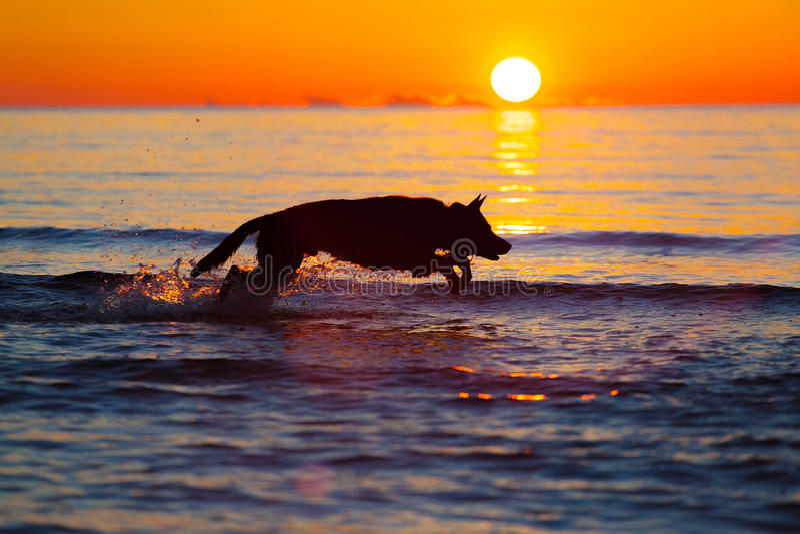 Schattenbild eines Hundes, der auf Wasser gegen Sonnenuntergang läuft lizenzfreies stockfoto