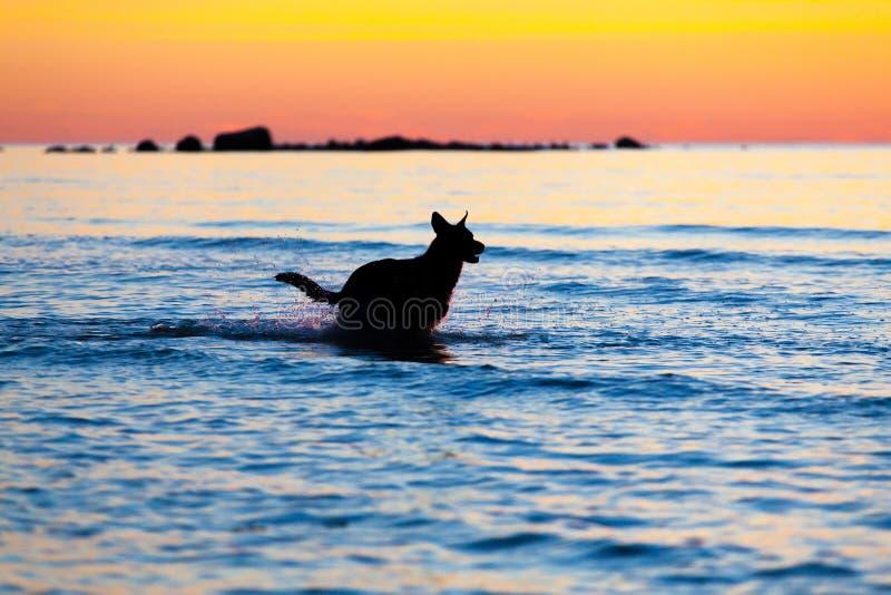 Schattenbild eines Hundes, der auf Wasser gegen Sonnenuntergang läuft lizenzfreie stockfotos