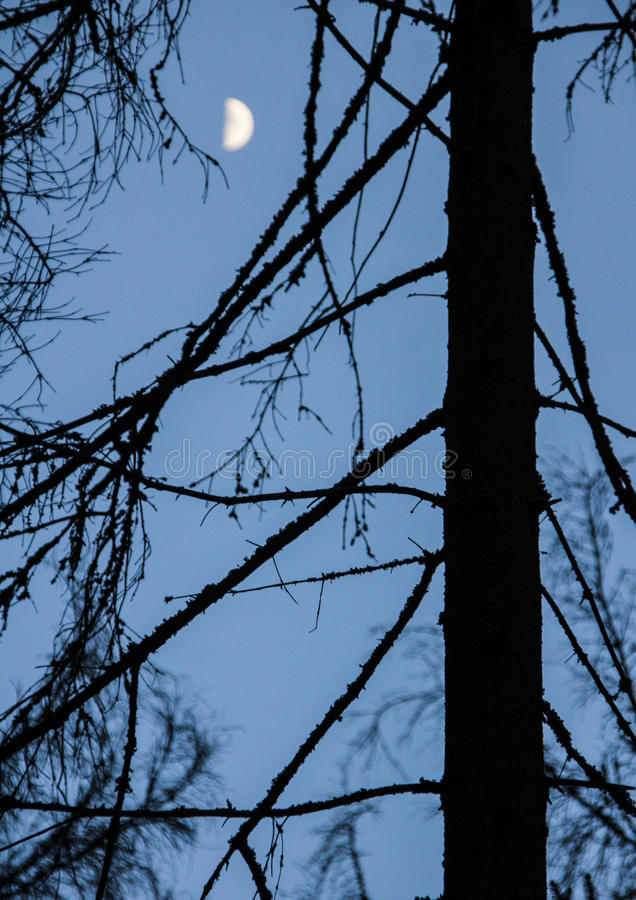 Download Schattenbild Eines Stammes Eines Koniferenbaums Stockbild - Bild von nacht, zweige: 96930063