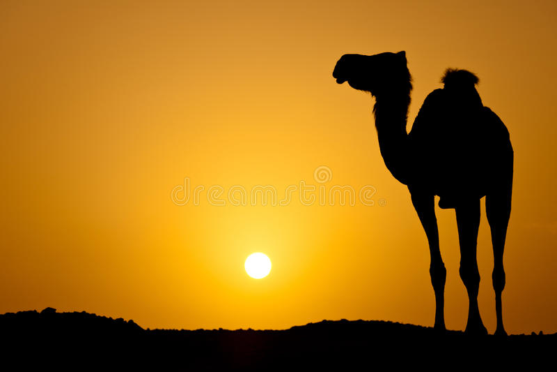 Schattenbild eines wilden Kamels am Sonnenuntergang lizenzfreies stockbild