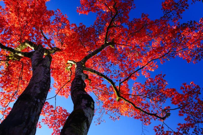 Schattenbild-Rotahornbaum auf blauem Himmel stockbilder