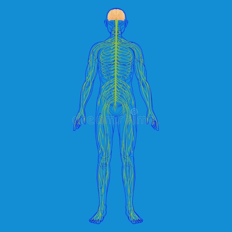 Fantastisch Menschliche Körper Fortpflanzungssystem Bilder Bilder ...