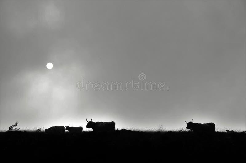 Schattenbild von den schottischen Hochlandkühen, die auf Heidemoor leben stockfoto