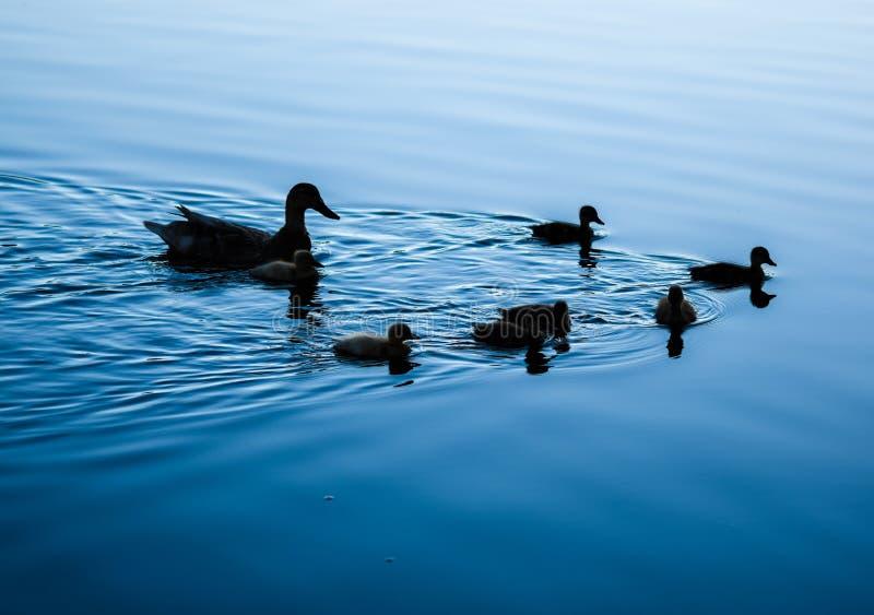 Schattenbild von Enten auf einem See stockbild