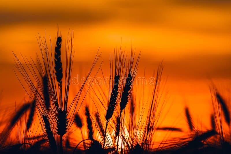 Schattenbild von Getreideernteohren im Sonnenuntergang lizenzfreie stockfotos