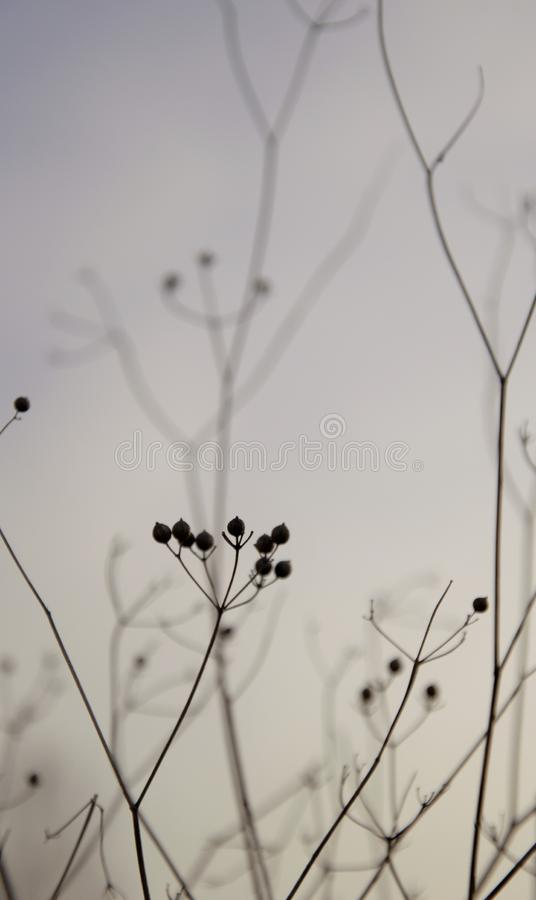 Schattenbild von Zweigen mit seedpods am späten Nachmittag im Herbst stockfotos