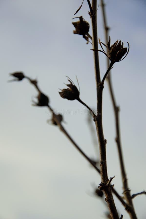 Schattenbild von Zweigen mit seedpods am späten Nachmittag im Herbst lizenzfreie stockfotos