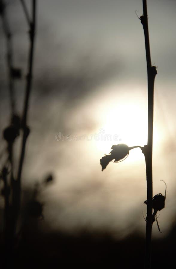Schattenbild von Zweigen mit seedpods am späten Nachmittag im Herbst stockbild