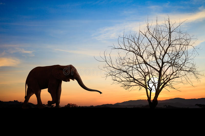 Schattenbildelefanten über Sonnenuntergang stockfotos