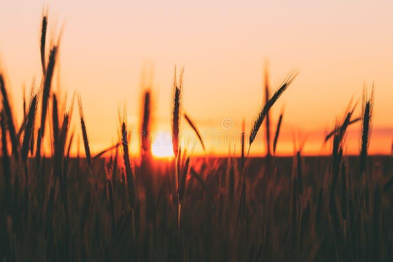 Schattenbilder des Weizens gegen Hintergrund des szenischen Land-Sommer-Sonnenuntergangs, warmer gelber Himmel lizenzfreies stockbild