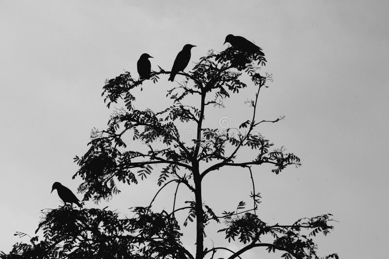 Schattenbilder von Vögeln im Ebereschenbaum in Schwarzweiss stockbild