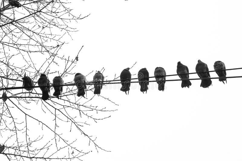 Schattenbilder von Vogeltauben auf Drähten gegen den Himmel, Isolat, unten oben stockfotografie