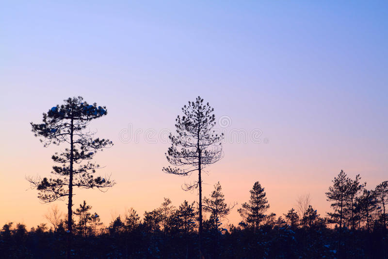 SchattenbildKiefernholz stockfotografie