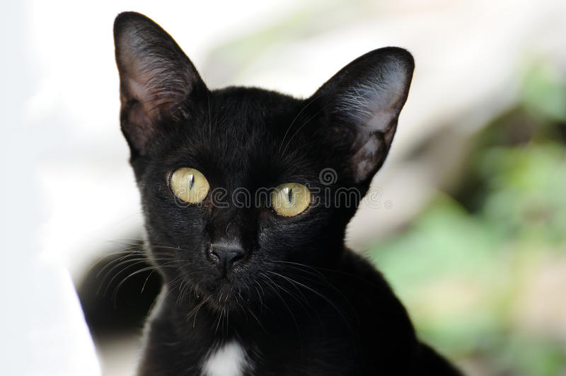 Schauen der schwarzen Katze des Porträts im Freien zur Kamera stockfoto