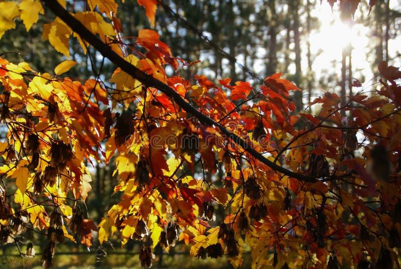 Schauen durch eine Niederlassung von roten und gelben Ahornblättern in Richtung zur Sonne mit Bäumen im Hintergrund im Herbst nah stockfotografie