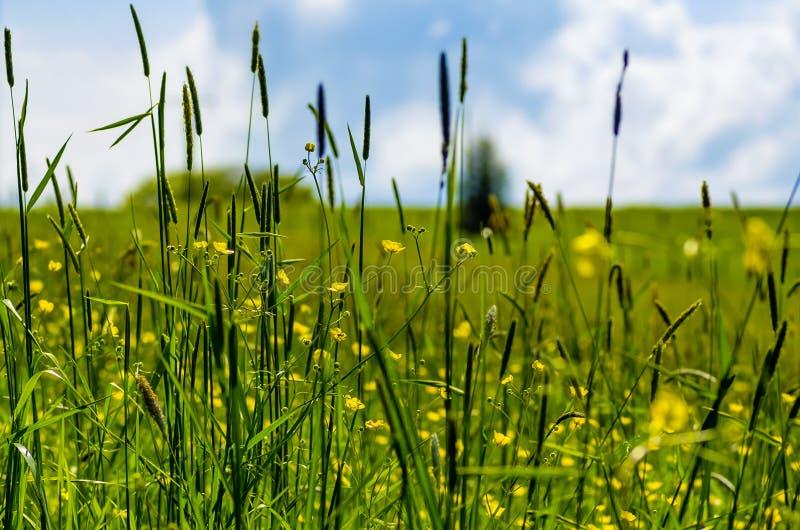 Schauen Sie durch Grashalme über einer Wiese, Himmel im Hintergrund, selektiver Fokus stockfoto