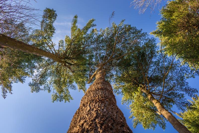 Schauen Sie oben auf den Bäumen stockbild